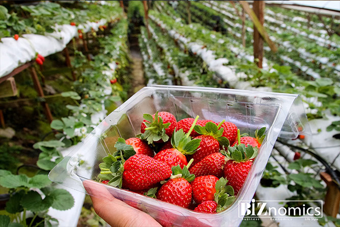 Strawberries in Sri Lanka-BiZnomics-Business